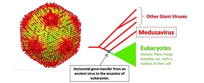 Medusavirus, junto con el «árbol genealógico» de virus gigantes y eucariotas