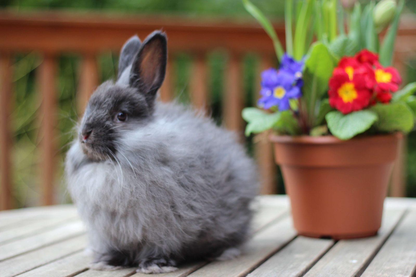 https://i2.wp.com/coelhos.animais.info/Imagens/angora-frances-preto.jpg