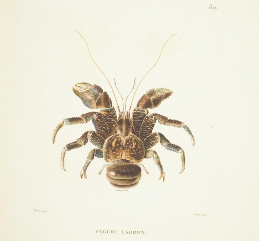 Illustration of Birgus latro
