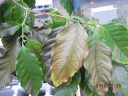 寒波により葉が変色したコーヒーの木