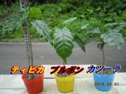 コーヒー栽培 成長記録