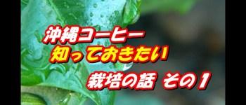 沖縄コーヒー 栽培1
