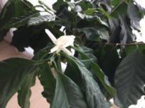 北海道コーヒー栽培 花
