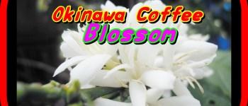 coffee blossom