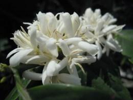 沖縄コーヒー開花