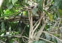 ヘビとコーヒーの木