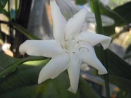 コーヒーリベリカ花