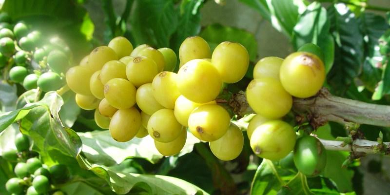 沖縄コーヒー農園