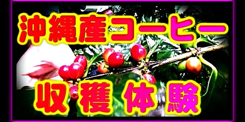 沖縄コーヒー収穫体験