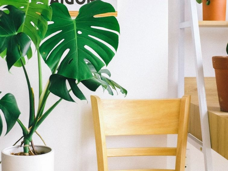how to propagate monstera