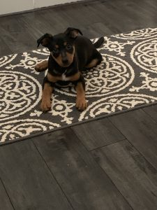 Black and Tan Mini Pin/Lab Mix Dog