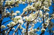 blossom mecca