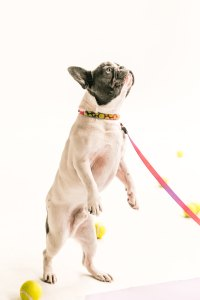 French bulldog with tennis balls