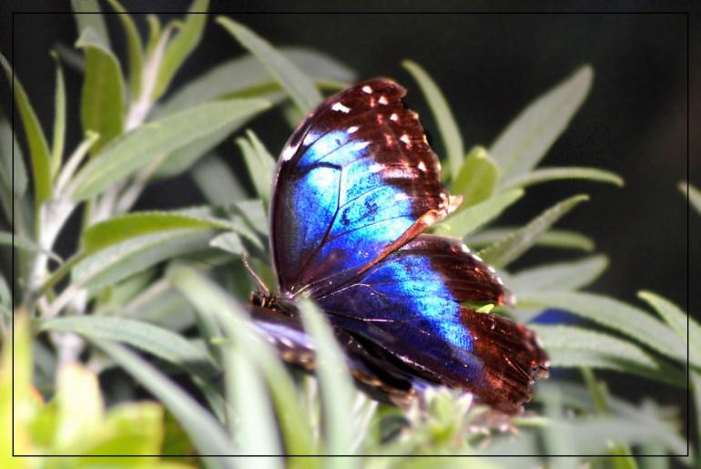 Bellagio Butterfly Blurred