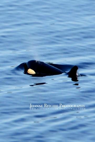 Orca 3