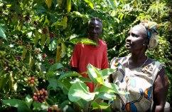 Ferme de café au Soudan