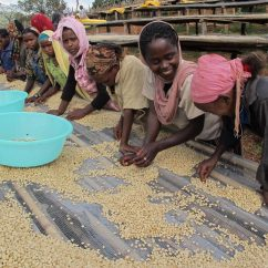 Women sort coffee in Ethiopia