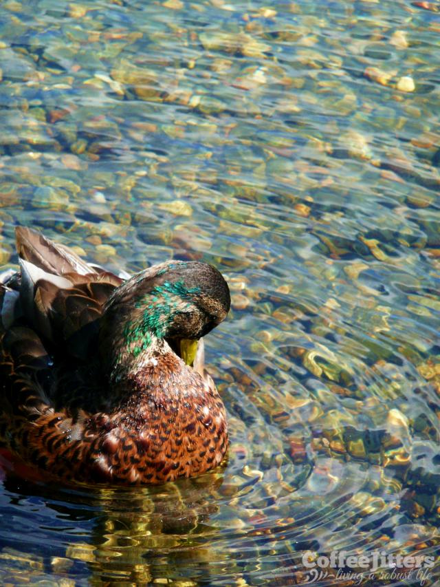 ducky - CoffeeJitters.Net