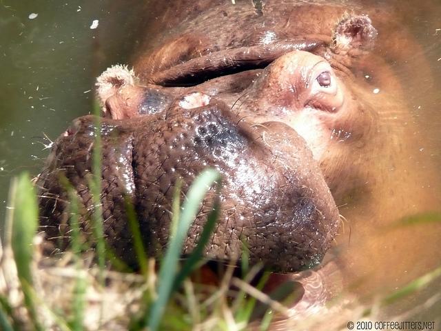 hungry hungry hippo - CoffeeJitters.Net
