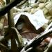 sleeping orangutan - CoffeeJitters.Net