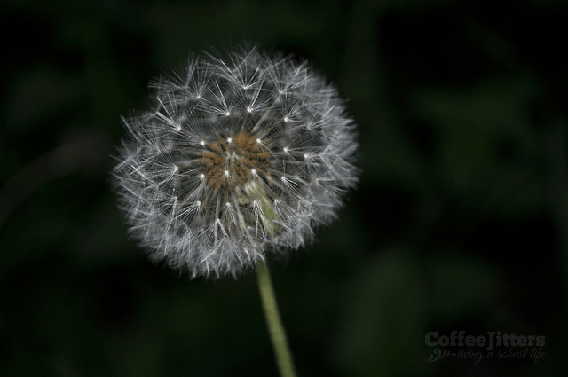dandelion - courage night