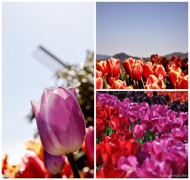 tulip collage2