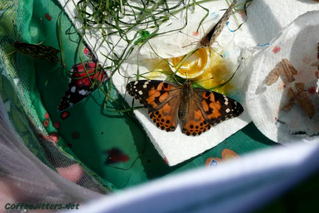 butterflies-drinking-juice