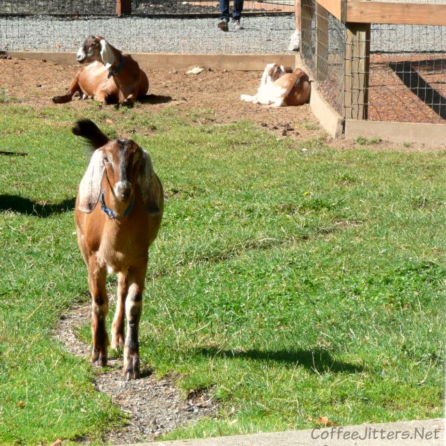 goats at Farrel-McWhirter Farm Park