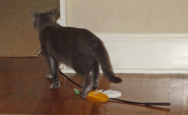 Here is Gracie dragging her feather toy.