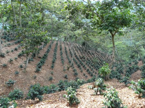young planted coffee plants