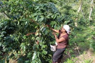 harvesting ripe coffee cherries