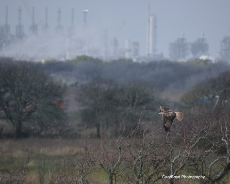Red-tailed Hawk and Refineries