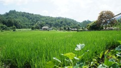 Rice field, Day 1