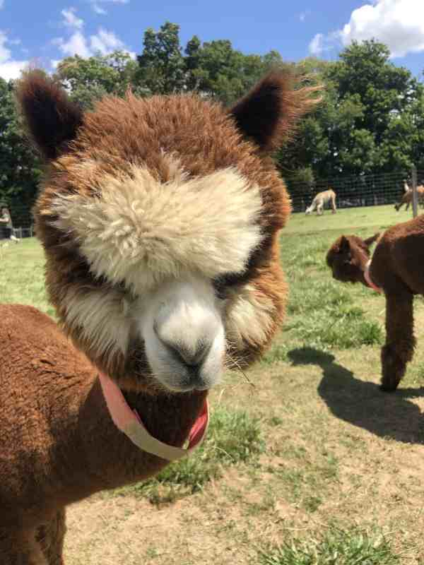 Alpaca at Majestic Meadows Ohio