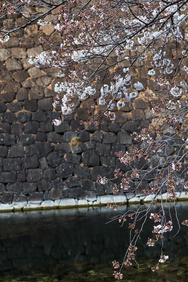 Sakura Kirsikankukat Tokyo-14