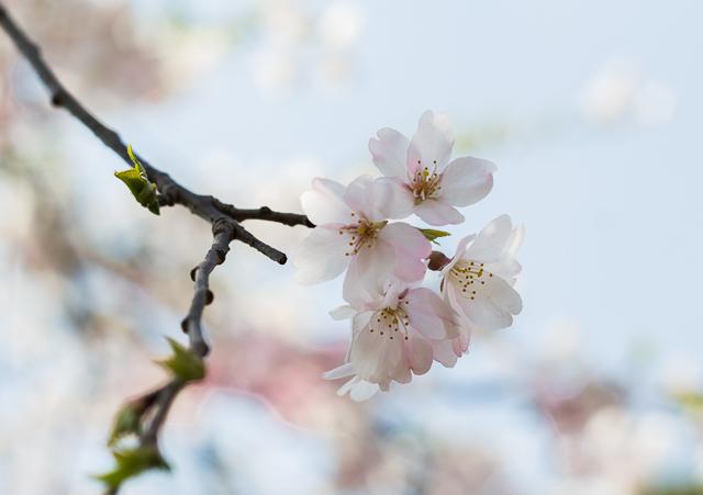 Sakura Kirsikankukat Tokyo-3