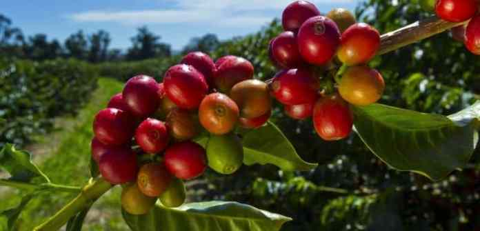 kona-coffee-berries
