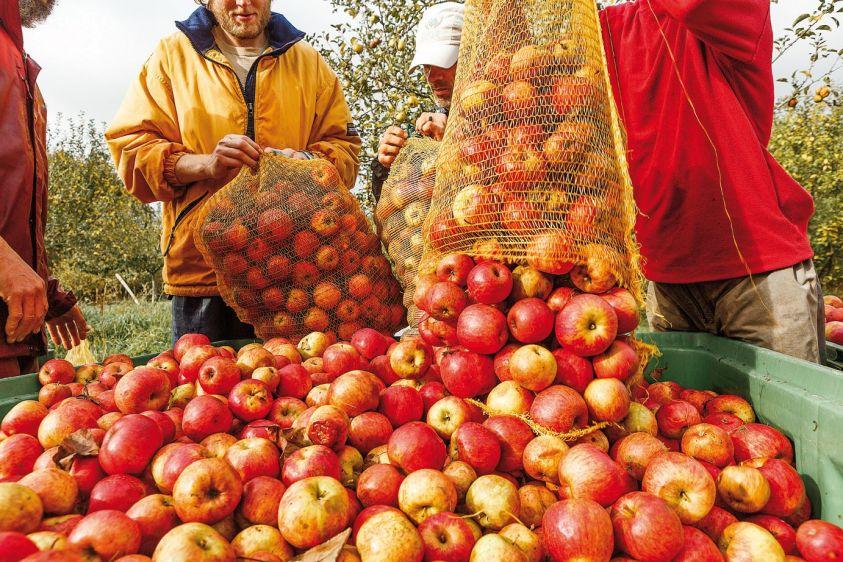 Cidrerie du Golfe - récolte (3)