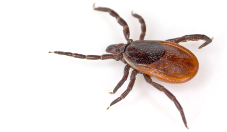 Borrelia miyamotoi Infection - The New Deer Tick-Borne Disease