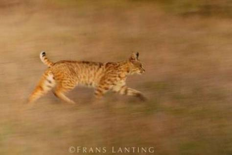 Bobcat running, Lynx rufus, Monterey Bay, California. Photo by Frans Lanting