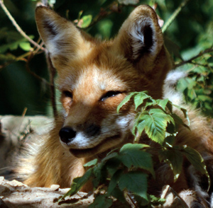 Researchers Find Increase In Lyme Disease Mirrors Drop In Red Fox Numbers
