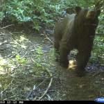 Br'er Bear at the pond