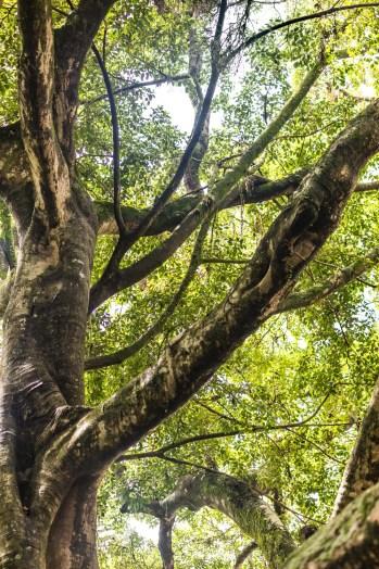 O emaranhado de galhos da centenária figueira do centro de Florianópolis