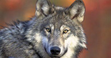 Umweltministerium: Sichtung von Wolf bei Stuttgart bestätigt