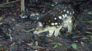 Remote cameras in the Great Otway National Park captured footage of a tiger quoll.