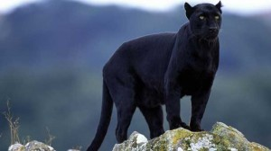 Tourists reported seeing a panther in the Otways.