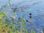 Pronatura Noroeste y UABCS lanzan diplomado para la conservación de sitios prioritarios para aves playeras