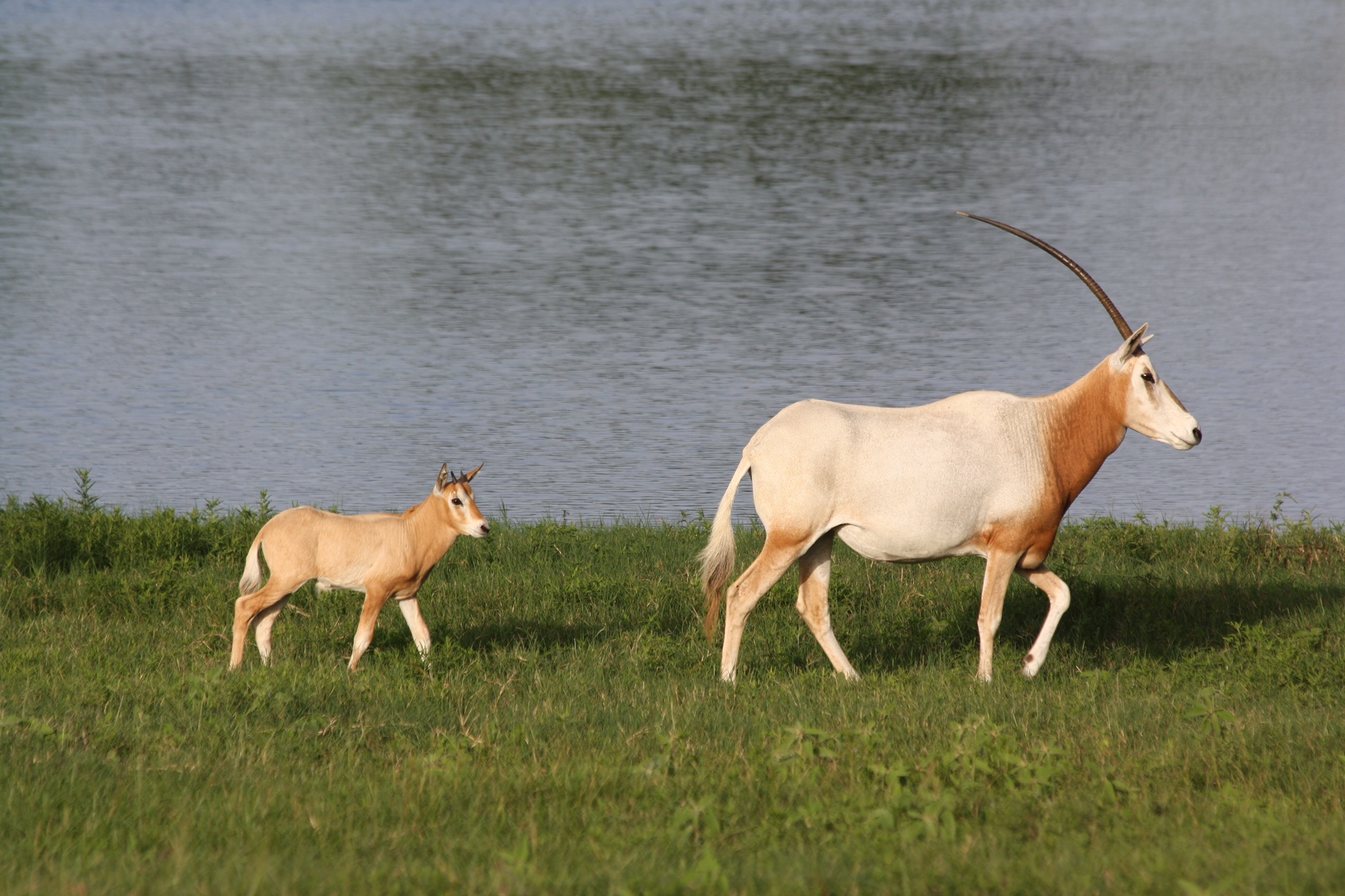 Image result for scimitar oryx