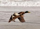 double_duck