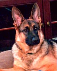 Cold Harbor German Shepherds